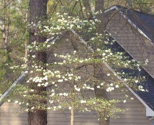 my-wild-dogwood-tree