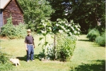 Grandpa and his tomato plants