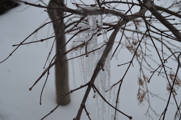 012416_Frozen Tears on the Weeping Maple