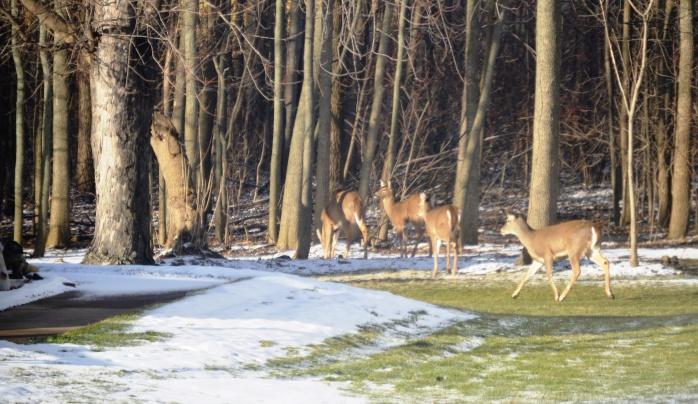 012716_Neighborhood Deer