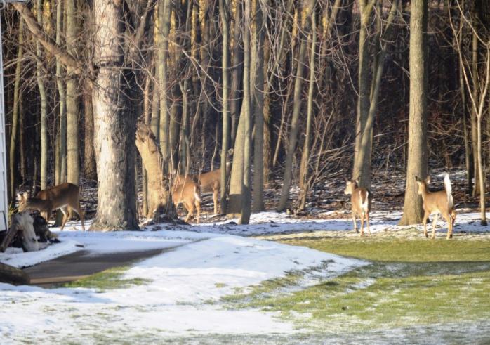 012716_neighborhood Deer_2