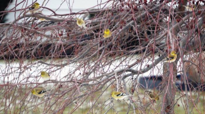 012816_Goldfinches in January