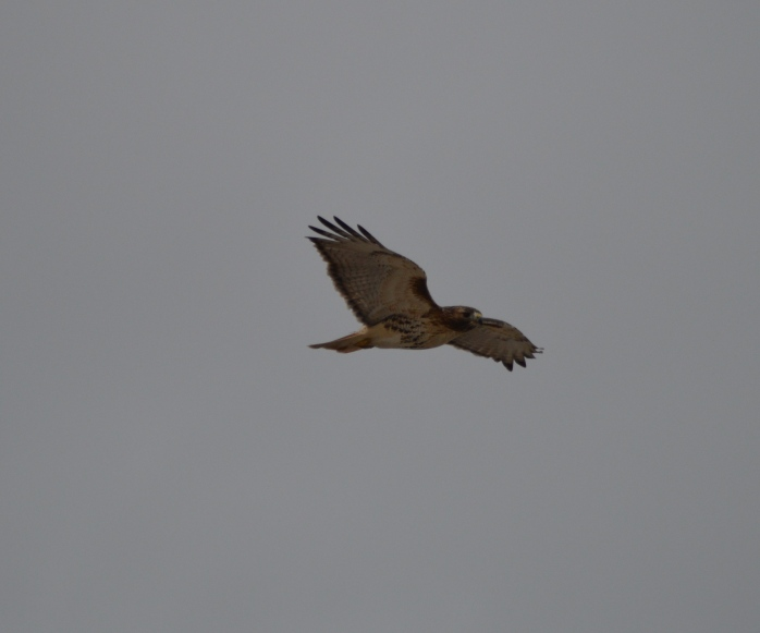 022116_Hawk in Flight