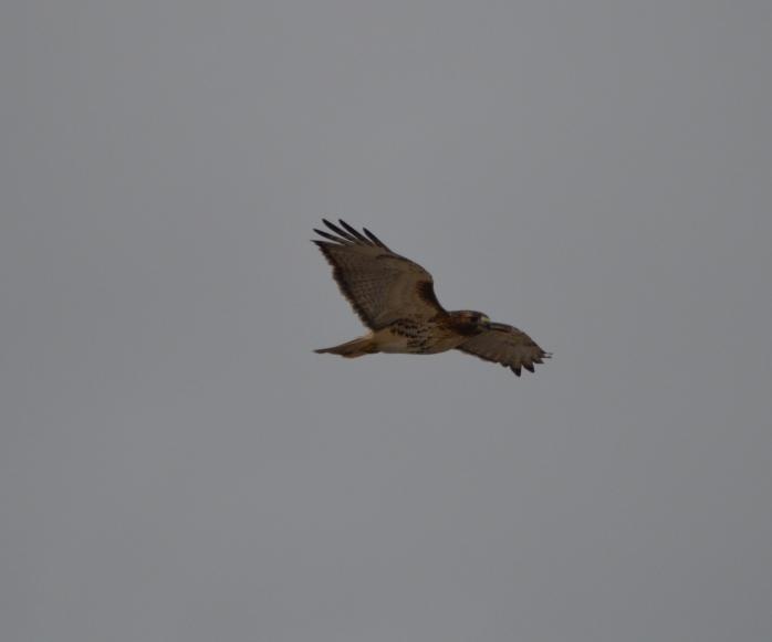 022116_Hawk in Flight