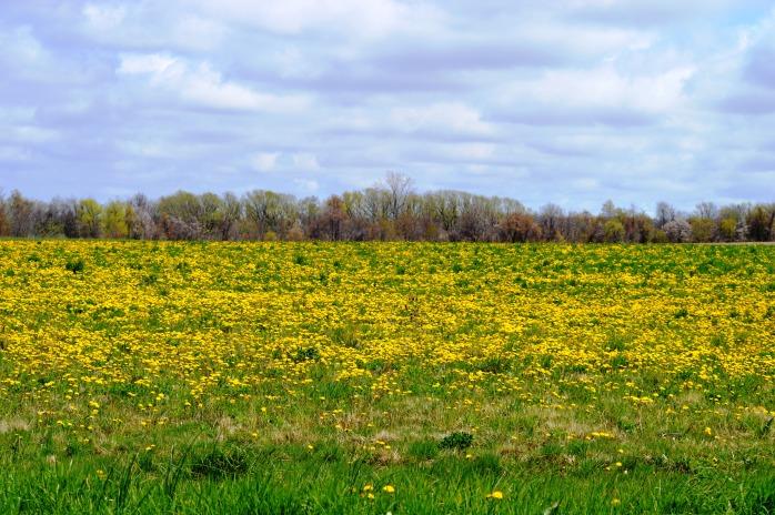 050516_Dandalion Fields Forever