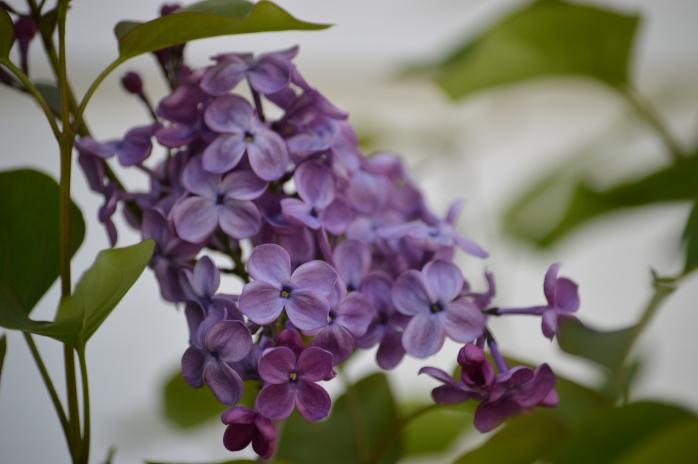 051616_My Lilacs