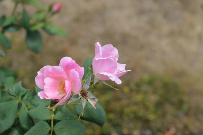 072316_Pink Knockout Roses
