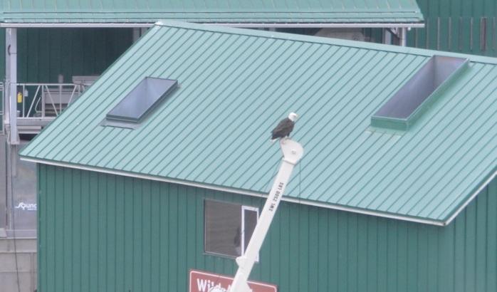 Bald Eagle in Juneau