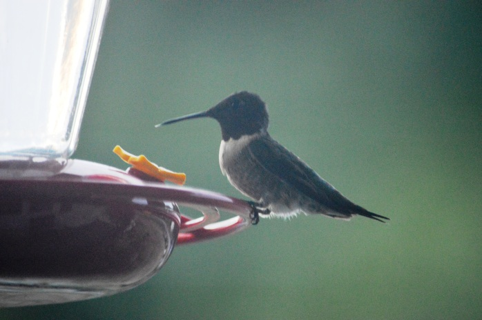 081116_Hummingbird