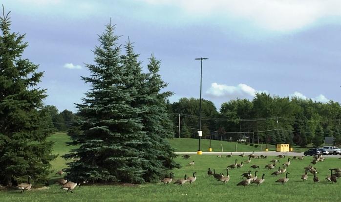081616_Walmart Geese