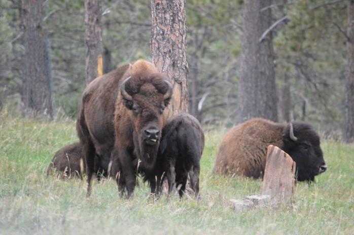 091116_buffalo