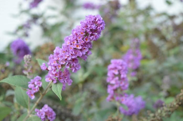 101716_butterfly-bush