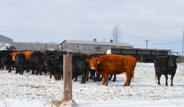 021617_fromwhereistand_these-cows-look-cold