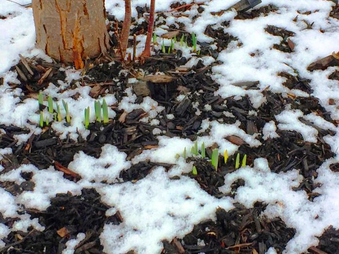 022617_confused-daffodils