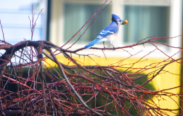 030117_blue-jay-and-his-treasure_something-blue