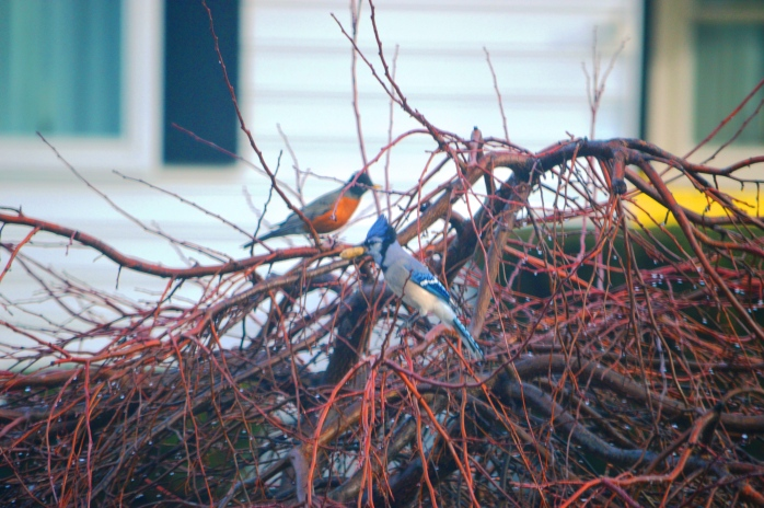 030117_blue-jay-and-robin_something-blue